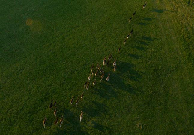 Stonor Manor Deer Running in Herd